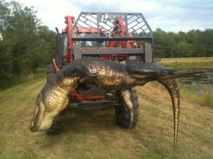 Alligator 091913