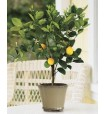 lemon_tree_8
