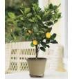 lemon_tree_8