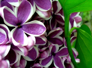 Royal_Botanical_Gardens_Lilac_Celebration
