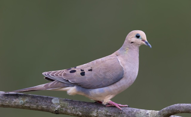 Mourning-Dove_5637