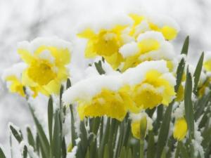 gary-smith-daffodils-flowers-covered-in-snow-norfolk-uk
