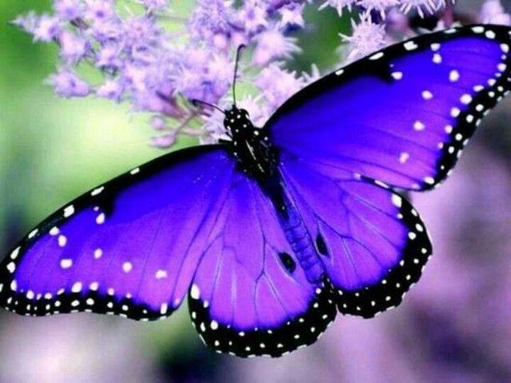 087d7f0069385dd543178c4c2fca3430--blue-butterfly-butterfly-wings